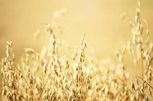 Photo of The Harvesting Oat Field Background