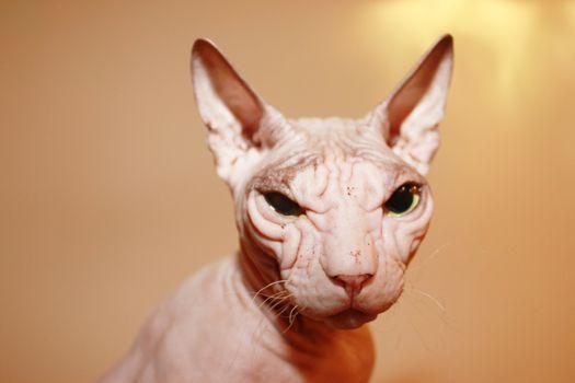 Hairless white cat.