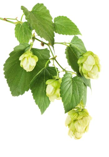 Hop plant branch isolated on white background