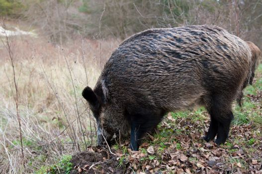 Wild pigs in the national park the Curonian Spit. Russian. Kaliningrad Oblast.