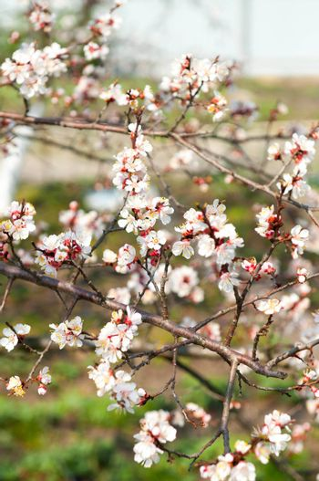 Beautiful flowering Japanese cherry - Sakura. Blue sky background  Background with flowers on a spring day.