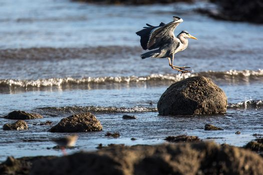 Western Reef Heron , image taken in Anstruther