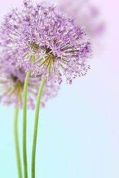Allium in full bloom