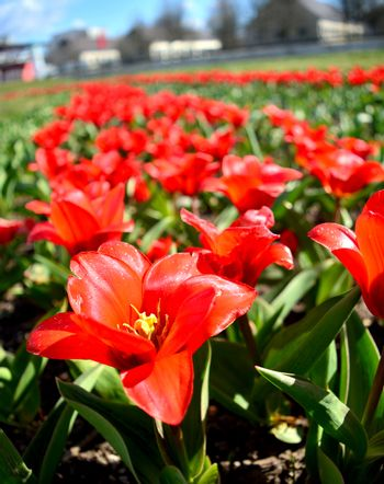 spring season starts with the blooming of tulips