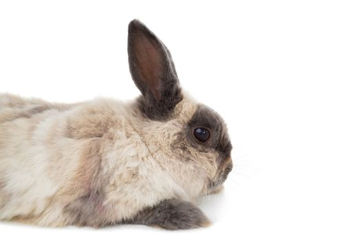Side view of fluffy rabbit