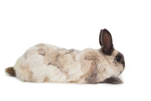 Fluffy rabbit on white background