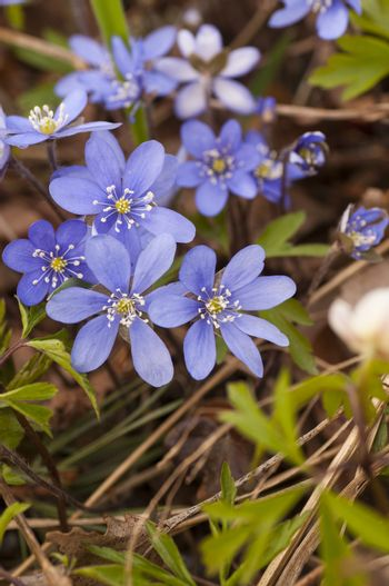 Blooming hepatica in a pile of leaves on a spring day in the forest.