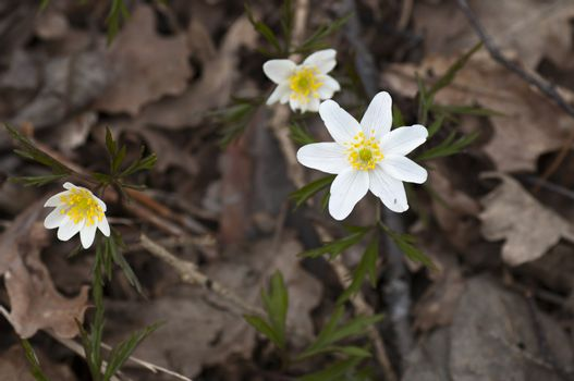 Forest anemones among the withered leaves this cloudy spring day.