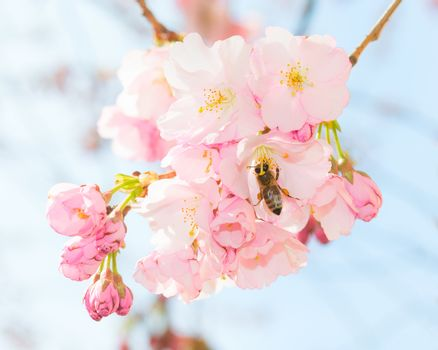 Bee pollinating springtime blooming orchard fruit garden