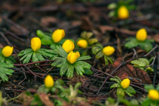 Eranthis in the springtime
