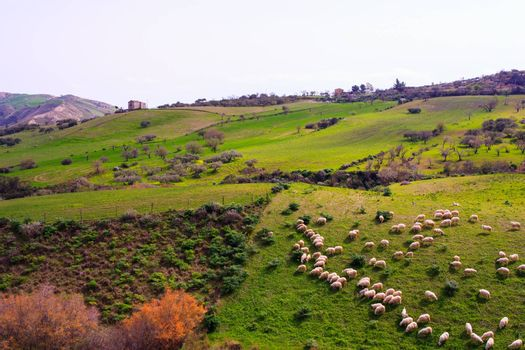 A herd of sheep grazing in the sicilian countryside