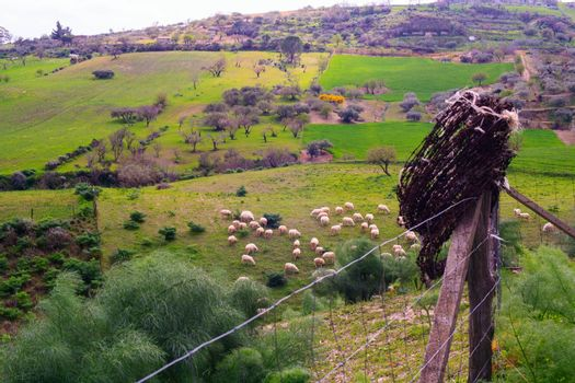 View of a herd of sheep grazing in the sicilian countryside. Fence with barbed wire
