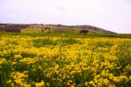 View of Sicilian field covered by yellow flowers