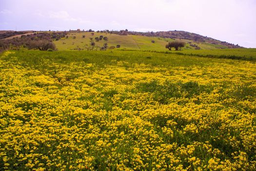 Yellow Flowers in the spring, Sicilian countryside