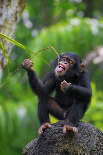 Young Common Chimpanzee sitting in the wild