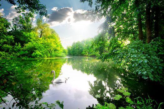 Swan on calm river
