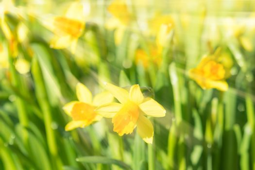 Spring blossom narcissus daffodils yellow sunlit flowers with su