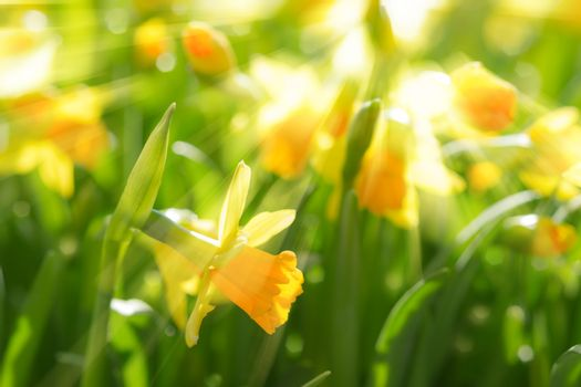 Yellow spring flowers narcissus daffodils with bright sunbeams s