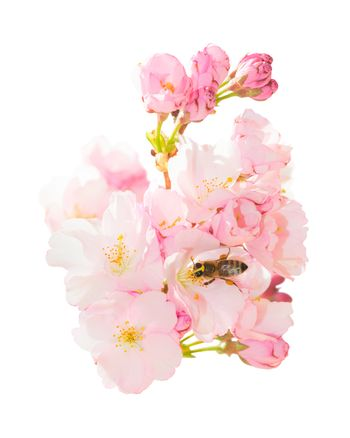 Isolated bunch spring blossom pink flowers with honeybee obtaini