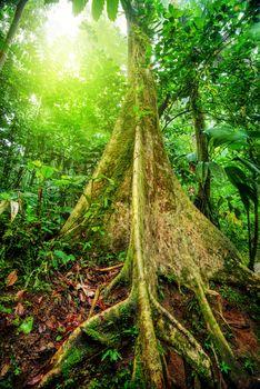 Giant tree in rainforest