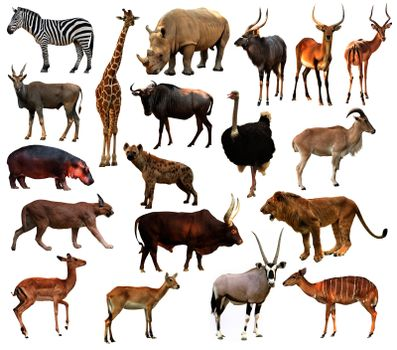 collection of africa animals isolated on white background
