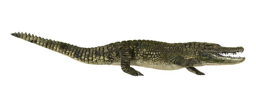 3D digital render of an American alligator or Alligator mississippiensis isolated on white background