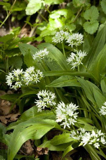 white flowers and leaf of garlic