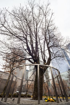 Survivor Tree, Manhattan, New York.