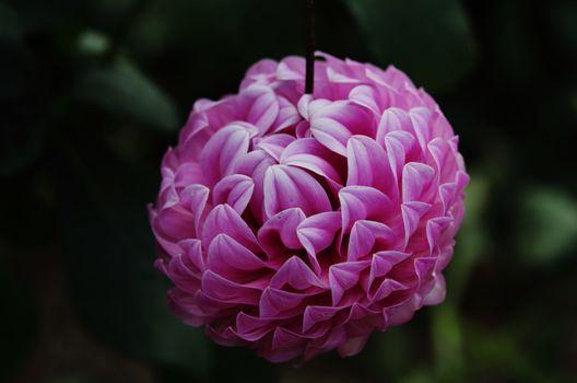 Dahlia  Le Batts Prime decorative type flower