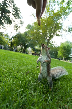 Feeding a wild squirrel a peanut in a public park located in Boston Massachusetts.