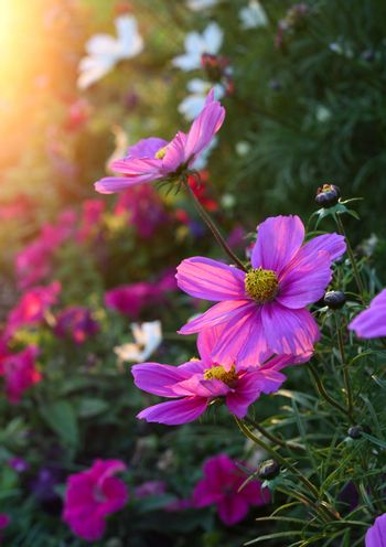 Beautiful nature background with pink Cosmos flowers with sunlight