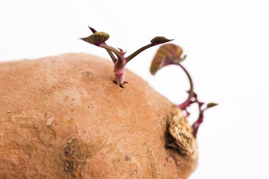Sweet potato with sprout, white background