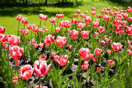 Red - pink tulips