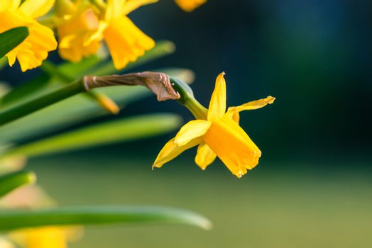 Daffodils in the springtime