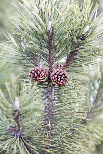 Coniferous tree branch with cones.