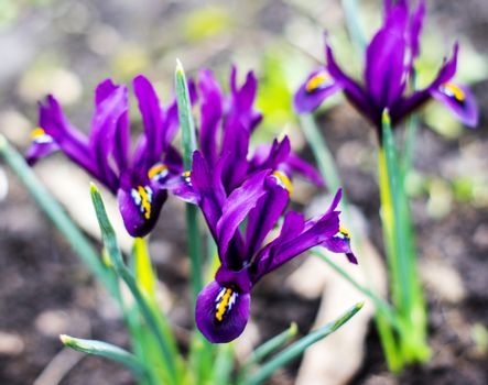 Iris pumila. For your commercial and editorial use.