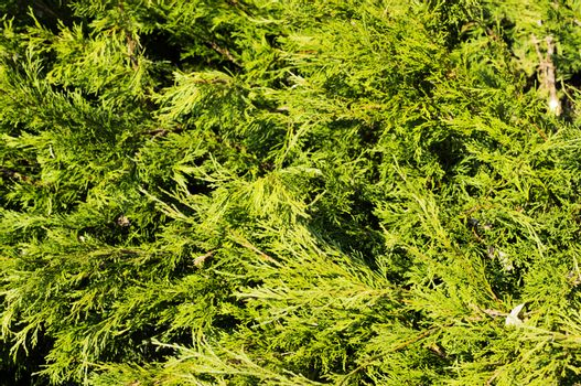 Thuja hedge close-up view.. For your commercial and editorial use