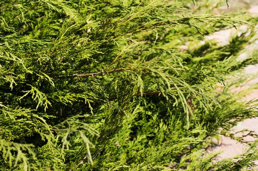 Thuja hedge close-up view. For your commercial and editorial use