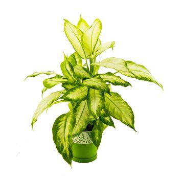 dieffenbachia grows in flowerpot isolated on white.