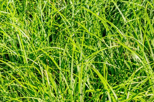 Young sugar cane stem