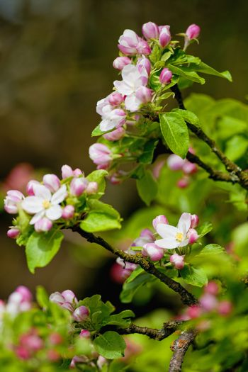 Apple Tree in Blossom at Springtime