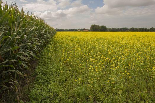 Yellow flowering oilseed rape in Winterswijk in the Netherlands