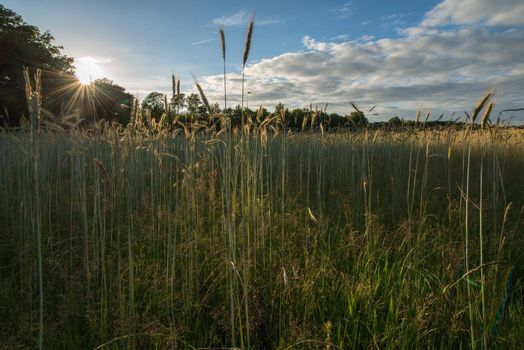 Characteristic wheat fields near the city of Winterswijk in Netherlands