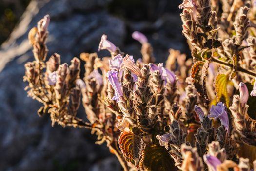 "Beautiful wildflowers ,the scientific name ""Dichroa febrifuga Lour."" found in tropical rainforests altitude of over 5,250 feet above sea level."