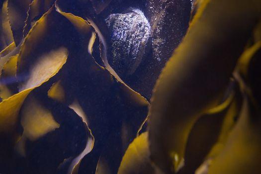 Seaweed in fish tank
