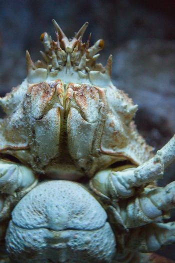 Crab swimming in a tank