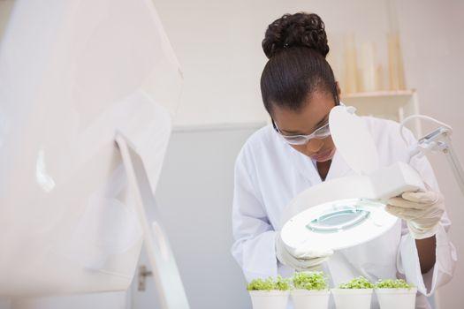 Scientist examining sprouts under heat lamp