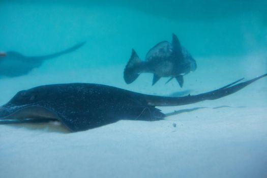 Manta ray swimming with fish