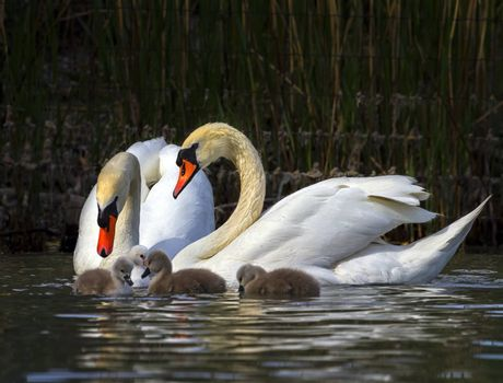 Mute swan, cygnus olor, parents and babies floating on water