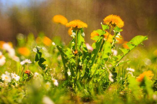 Close up of dandelion flower in the garden